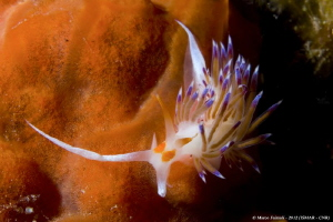 Cratena peregrina on orange sponge by Marco Faimali (ismar-Cnr) 